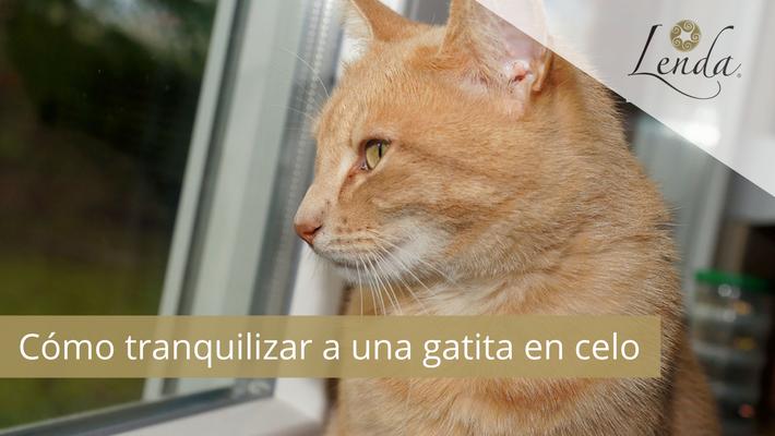 Tranquilizar a una gatita en celo