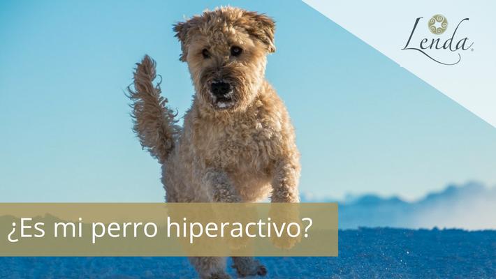 ¿Es mi perro hiperactivo?