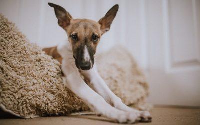 ¿Qué hacer con tu perro en casa durante la cuarentena del COVID-19?