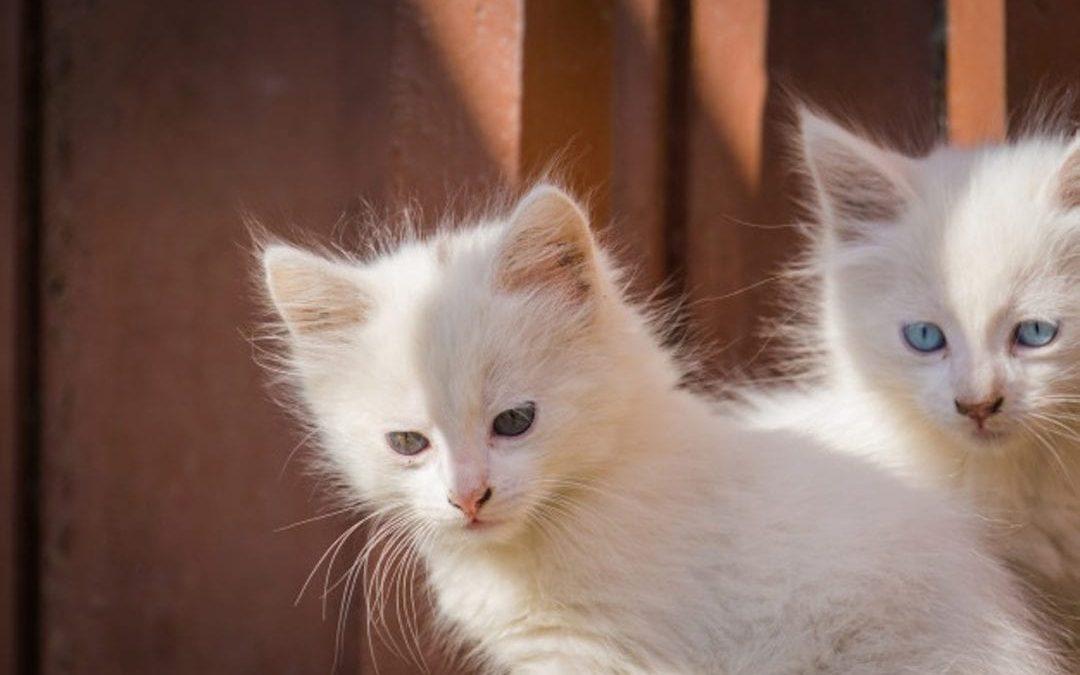 Gato de raza