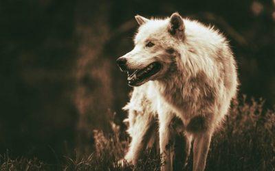 ¿Por qué los lobos no ladran?