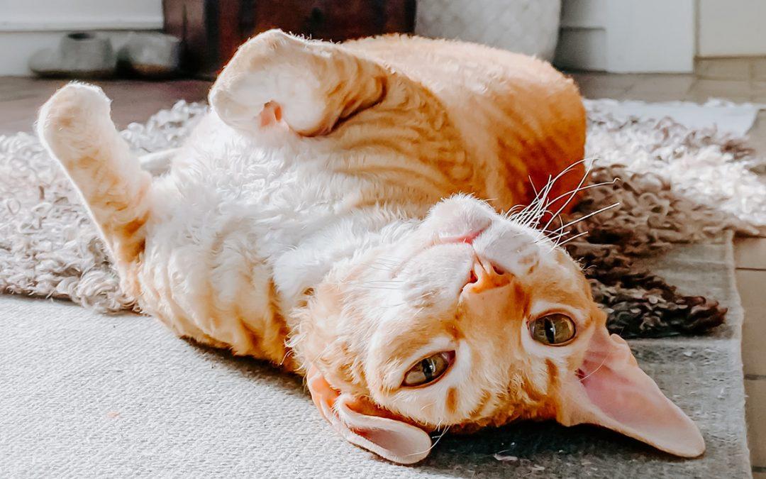 Consejos para que los gatos no sufran calor en los meses de verano